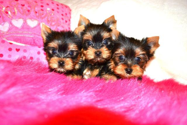ADORABLE Tiny Teddy Bear YORKIES Yorkshier Terrier 360 207-6307