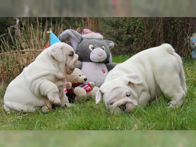 Adorable English Bulldog Puppies    206 745-8764