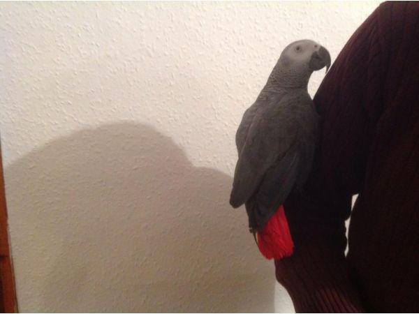 African Grey Baby Parrots available 510-924-8254