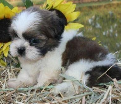 Akc Registered Shih Tzu Puppies Available  Textcall 209 500-1661