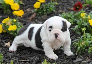Akc registered English Bulldog puppies  909 312-6357     -