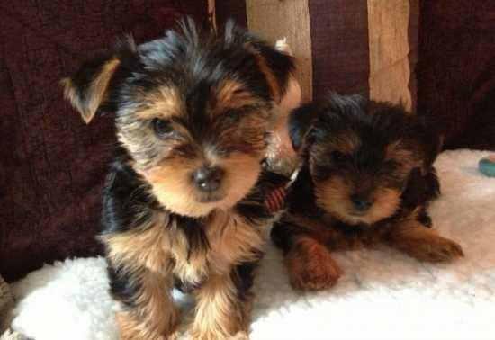 Awesome AKC Potty Trained Yorkshire Terrier Puppies For Adoption You Can Text Me At 240 704-7809