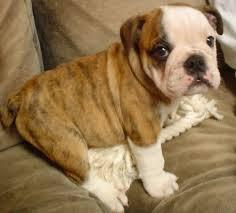Cute English Bulldog puppies looking for good and caring homes 717 547-0381