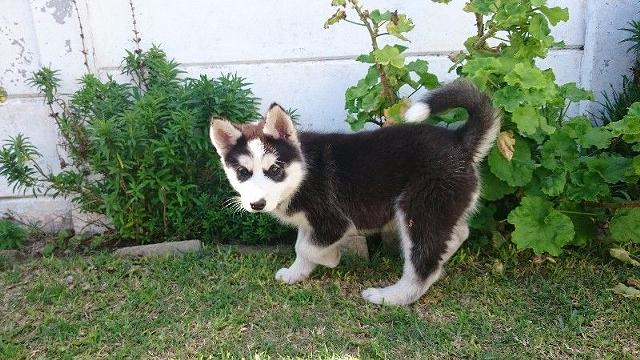 Friendly siberian husky puppies call or text502 414-7997