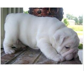 Gorgeous Male And Female Pure Breed English Bulldog Puppies  TEXT US AT  424-279-7004