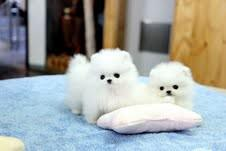 Home Trained Pomeranian Puppies