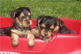 Home Trained Yorkies Available