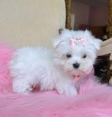 Playful Teacup Maltese Puppies For Adoption Text 779 206-7226