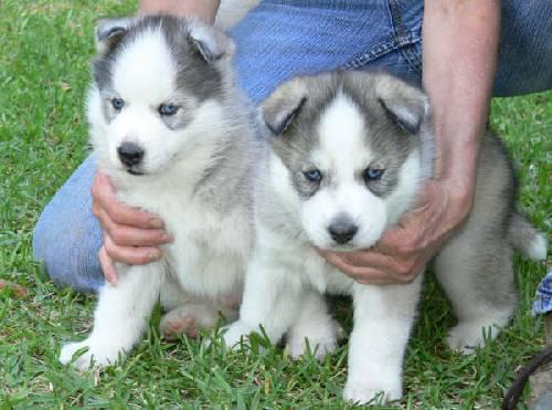 Really Attentive AKC Siberian Husky Pups for a new home do text me back via 909 689-8391