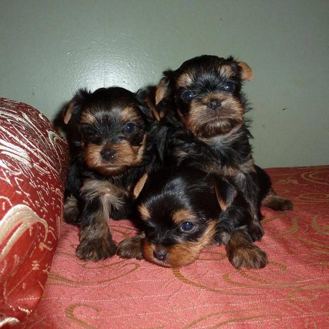 Smallest Cutest Teacup Yorkie Puppis