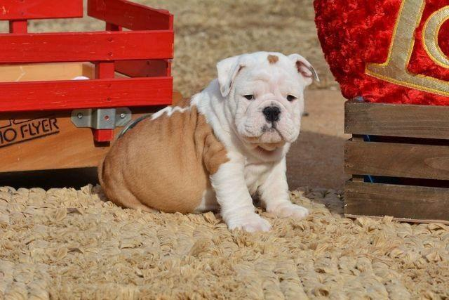 We Have Registered English and French Bulldogs text us 402 370 6576