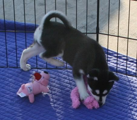 dgfdfgd Male husky puppy READY NOW302 751-2926