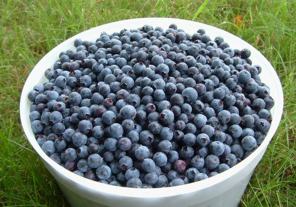7 year old blueberry plants -   x0024 25