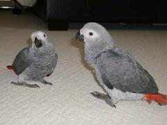 500  Sweet and lovely African grey parrots for sale