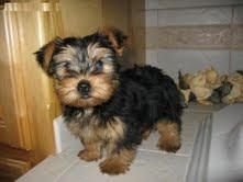 Awesome TOY Yorkie Text509 295-2916