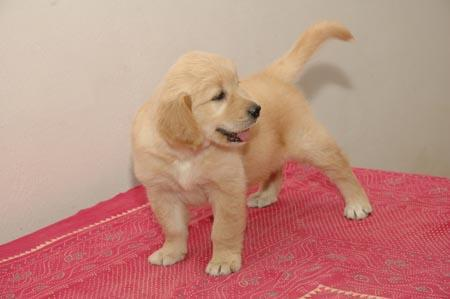 Cute Golden Retrievers  850 888-2596