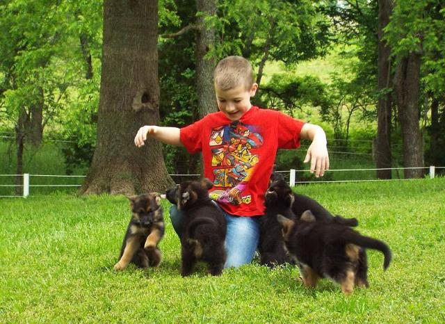 German shepherd puppies for adoption        724 343-1339