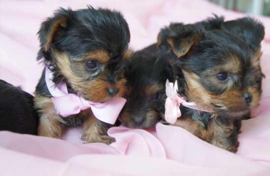 Registered Yorkshire Puppies For Re-Homing