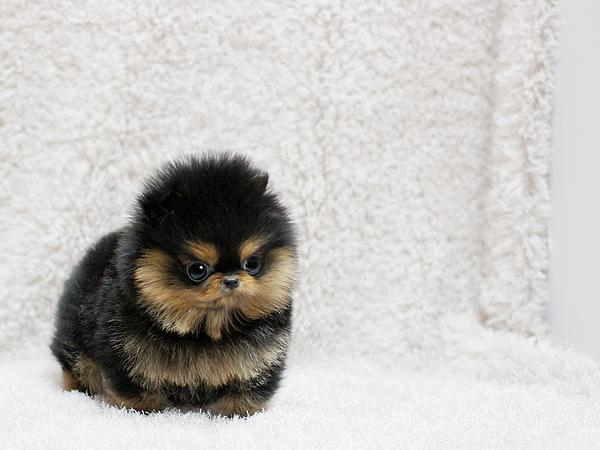 Teacup Pomeranian Puppies For Adoption 817 592-0934
