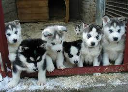We have pure bred Siberian husky puppies for adoption   302585-3945