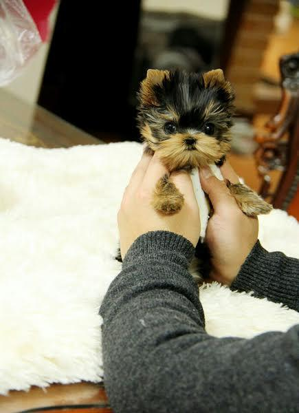 Yorkshire terrier teacup Puppies with Excellent Temperament  Calltext 512 522-8805