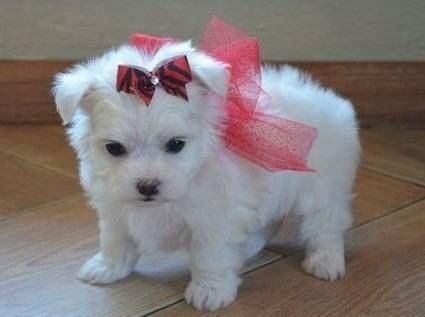 661 998-1065  Male and Female Maltese puppies