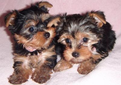 male and female teacup yorkies for re-homing