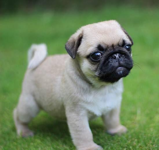 registered pug puppy text or call 331 999-1510