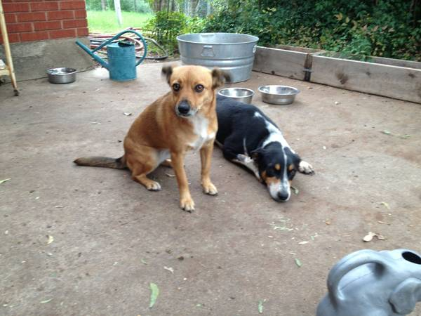 Need 2-3 Month Foster Care For 2 Dogs  Central Texas