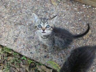 Striped Grey Kittens Free To Loving home (Waco, TX)