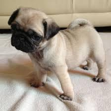 Austin Pug puppies well house trained for adoption