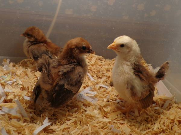 Seramas for Sale - Smallest Chicken Breed (Axtell)