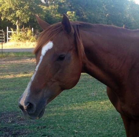 AQHA exceptional sought after broodmare roping, cutting, ranch horse - $700 (Sherman, TX)