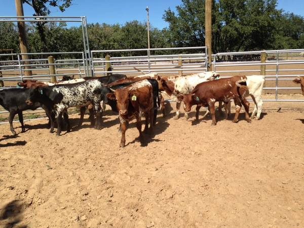 Fresh Roping Cattle For Sale - $600 (Coleman)