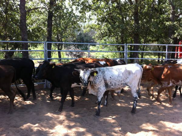 Available 10913- Fresh Roping Cattle For Lease - $40 (Coleman)