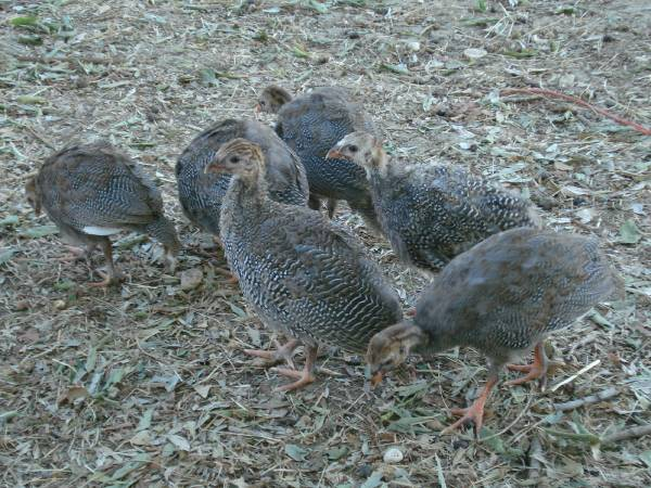 Guinea keets for sale (Waco Area)