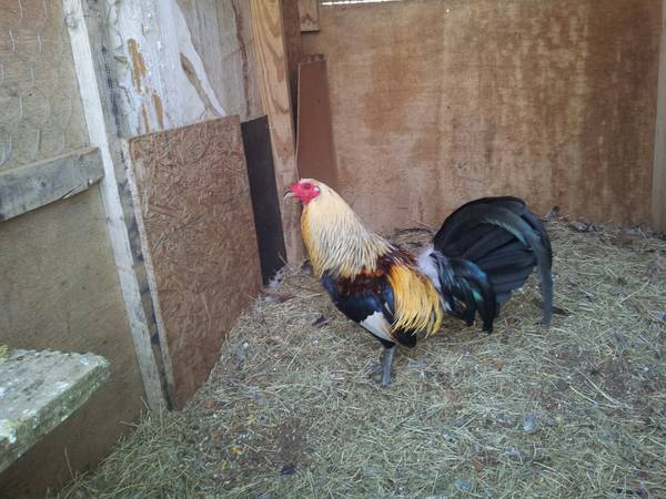 game roosters for sale
