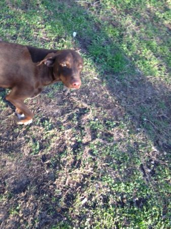 Free dog chocolate lab doberman (West, Tx)