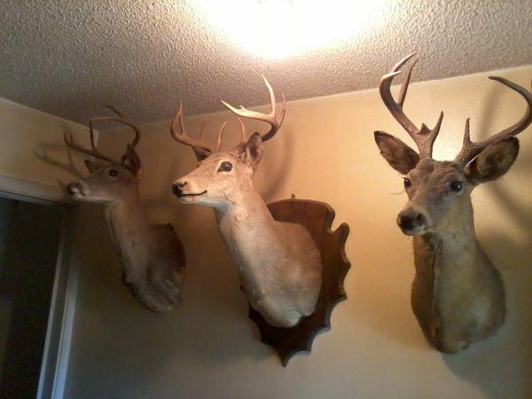 BUYING TAXidermy mounts, CIVIL WAR AND OLD WEST ITEMS