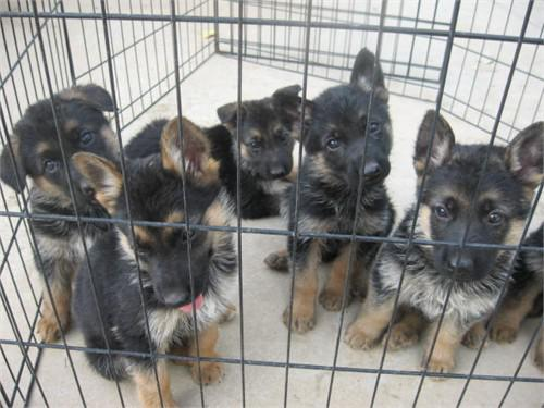 300  German Shepherd Pup AKC
