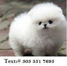 400  Intelligent pomeranian Puppies for Home pomeranian Puppies
