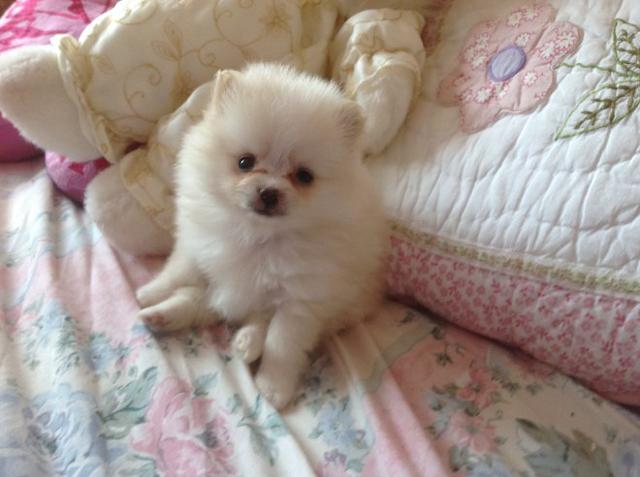Two Awesome  Pomeranian Puppies available text here 207 645-1931